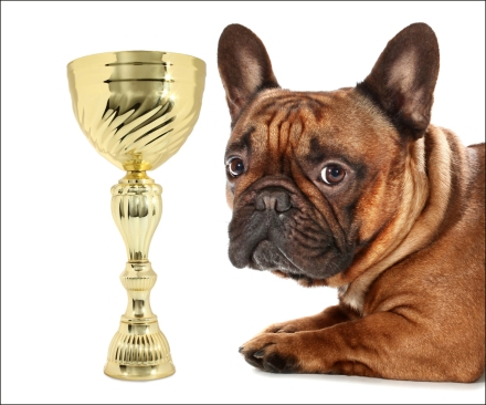 Awarded French Bulldog is lying wild golden trophy